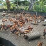 Peluang Bisnis Ayam Organik