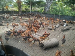 Bisnis Ayam Organik