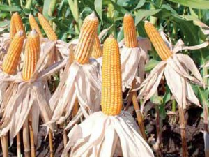 Bisnis jagung