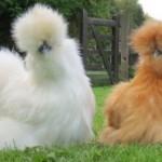 Peluang Usaha Budidaya Ayam Kapas