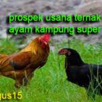 Prospek Usaha Ternak Ayam Kampung Super