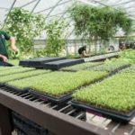 Mengintip Peluang Bisnis Pertanian dengan Teknik Budidaya Microgreen